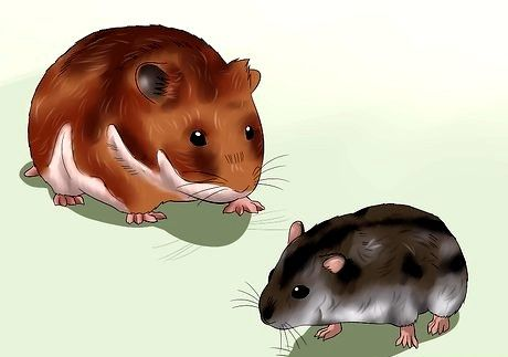 Hvordan få hamstere til å slutte å kjempe