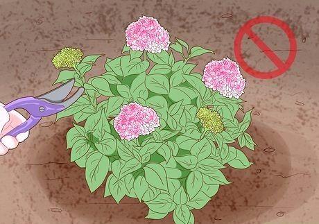 Hvordan få hortensia å blomstre